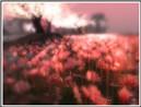 Tempura flower field