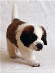 saint bernard puppy 2