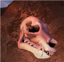 Fossilized Wolf Skull