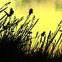 empress grasses