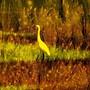 White Heron in Marsh