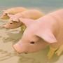 three pigs at two fish