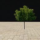 QT tree 58 2 summer