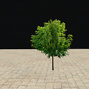 QT tree 58-4 summer