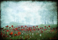 Red Poppy Morning