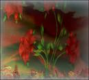 rosy wonder