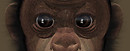 Eyes of a chimp