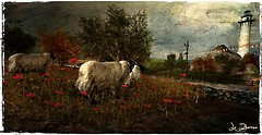 Sheeps and poppies