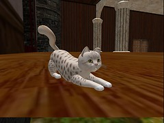 Virtual cat:  Ocicat lavender.  Crouch.