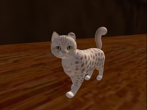 Virtual cat:  Ocicat lavender.  Stand.