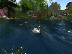 Swan_001