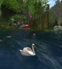 Swan_002