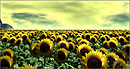 Sunflower-Ueno