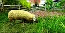 Mimmo - daydream_sheep