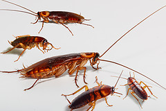 Cockroach Pest Control services at london