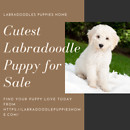Cutest Labradoodle Puppy for Sale