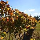 The Wine - Castagna Vineyard Beechworth